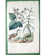 NATURAL HISTORY Catalpa Tree & Sunbittern Bird ... - $18.51