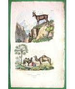 NATURAL HISTORY Camels, Chamois, Dwarf Palm Tree - H/C Color Antique Print - $15.15