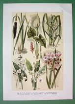 FLOWERS Cuckoopint Bur Reed Arrowhead - COLOR Botanical Antique Print - $11.78