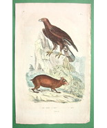EAGLE Royal Common Agouti - SUPERB H/C Color Na... - $11.78