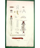 CENTIPEDES Anatomy !! H/C Color Antique Print - $8.00