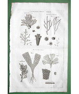 CORALS Corralines Sea Life - 1782 Copperplate Engraving Print - $8.41
