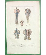 ANATOMY of Birds Kidneys of Eagle Swallow Coot Grebe - H/C Color Antique... - $11.78