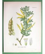 GUM ARABIC TREE Acacia Senegal Medicinal Plant ... - $18.93
