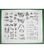 HUMAN ANATOMY Bones Teeth Pelvis Hands - 1844 SUPERB Original Print Engr... - $26.93