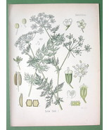 CARAWAY SEEDS Plant Carum Carvi - COLOR Litho B... - $11.78
