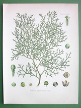 SANDARAC TREE Medicinal Callitris Quadrivalvis  - COLOR Litho Botanical ... - $23.56
