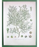 SANDARAC TREE Medicinal Callitris Quadrivalvis ... - $23.56