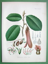 KERUING Dipterocarpus Retusus Tree Flowers - SUPERB Botanical Print Color - $31.14