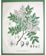 MEDICINAL PLANTDiesel Tree Copaifera - 1860 SCA... - $28.61