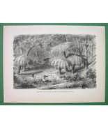 AUSTRALIA Hunting Shooting Lyre Bird Among Ferns - Antique Print - $12.61
