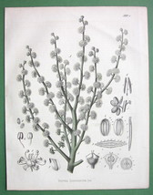 GUM AMMONIAC Medicinal  Dorema - 1860 SCARCE Co... - $12.61