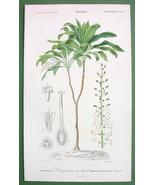 DRAGON TREE Plant Dracaena Brasiliensis - SUPER... - $15.15