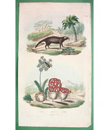 NATURAL HISTORY Civet, Bee Beetle, Clathrus Fun... - $15.15