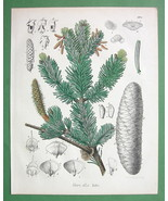 SILVER FIR Medicinal Abies Alba - 1860 SCARCE C... - $28.61