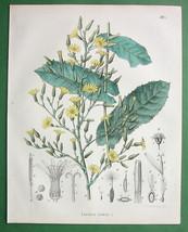 WILD LETTUCE Medicinal Lactuca Virosa - 1860 SC... - $16.82