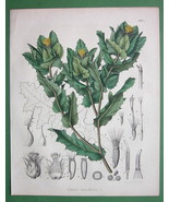 MEDICINAL PLANT Blessed Thistle Cnicus - 1860 S... - $28.61