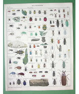 INSECTS Haltica Bruchus Cerambyx Lamia Prionus ... - $28.61