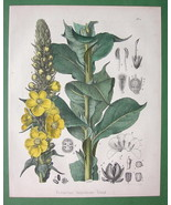 MEDICINAL FLOWER Common Mullein Verbascum - 1860 SUPERB Color Botanical ... - $28.61