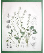 SCURVY GRASS Medicinal Cochlearia Officinalis- ... - $11.78