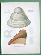 ICE MAN FUNGUS Medicinal Mushroom Polyporus - C... - $18.51