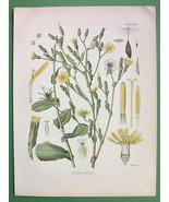 WILD LETTUCE Lactuca Virosa Medicinal Plant - Botanical COLOR Litho Print - $16.41