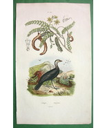 TAMARIND Tree & Talegal Bird !! SUPERB Natural History H/C Color Print G... - $8.41