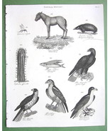 1816 NATURAL HISTORY Print - Wild Horse Golden ... - $12.20