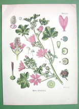MUSK MALLOW Malva Silvestris Miedicinal Plant - Botanical COLOR Antique ... - $16.41