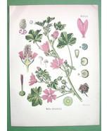 MUSK MALLOW Malva Silvestris Miedicinal Plant -... - $16.41