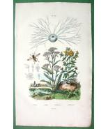 YARROW Plant Miliola Wasp St. John's Wort !! Na... - $8.41
