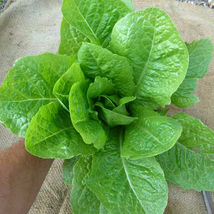 SHIP FROM US ORGANIC JERICHO LETTUCE SEEDS  - 8 OZ SEEDS- HEIRLOOM, NON-... - $217.00