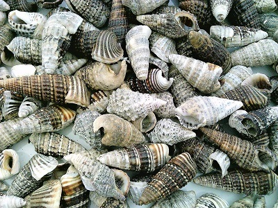 Primary image for Conch Sea Shell Craft Specimen Jewelry