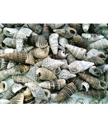 Conch Sea Shell Craft Specimen Jewelry  - $12.01