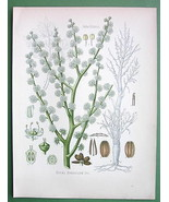 GUM AMMONIAC Medicinal Plant Dorema Ammoniacum ... - $21.78