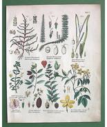 FLOWERS Jasmine Leafy Goosefoot Mare's Tail - B... - $17.82