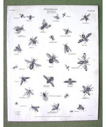 ENTOMOLOGY Insects Order Diptera Musca Genus Fl... - $17.82
