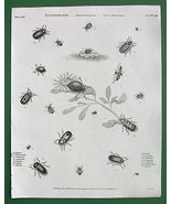 ENTOMOLOGY BEETLES Flies - Antique Print A. Ree... - $13.86