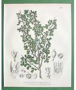 MYRRH Medicinal Balsamodendron - 1860 SCARCE Co... - $19.78