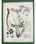 BURNET SAXIFRAGE Pimpinella Saxifraga Medicinal... - $22.28