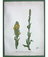 WOOLY MULLEIN Verbascum schraderi Medicinal Plant - COLOR Botanical Print - $9.41