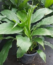 Houseplant WHITE LILY PEACE LILY GALLON SIZE LIVE PLANT  - $33.59