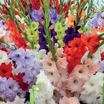 12 X-Large Bulbs-Hybrid Gladiolus Bright Mixture - $31.68