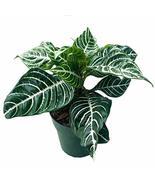 "Snow White Zebra Plant - Aphelandra - Exotic & Unusual House Plant - 4"" Pot - $15.67"