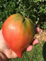 15 Australian Giant Ox Heart ...  15 heirloom Tomato seeds 1376 - $2.98