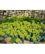 10 MYRTLE SPURGE -Flower Seeds - Euphorbia myrsinites,Evergreen succulent - $10.99
