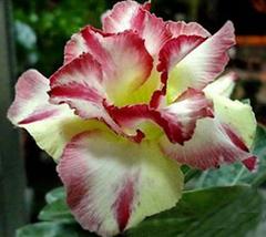 2pcs Very Graceful Adenium Dard Red White Bright Yellow Double Flowers IMA1 - $14.10