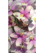 Epidendrum Max Valley Shiranui Reed Type Orchid Plant Blooming Size radi... - $22.49