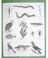 1816 NATURAL HISTORY Print - Guinea Hen Tobacco Oriole Platypus Water Sc... - $14.36