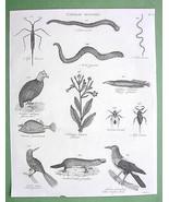 1816 NATURAL HISTORY Print - Guinea Hen Tobacco... - $14.36